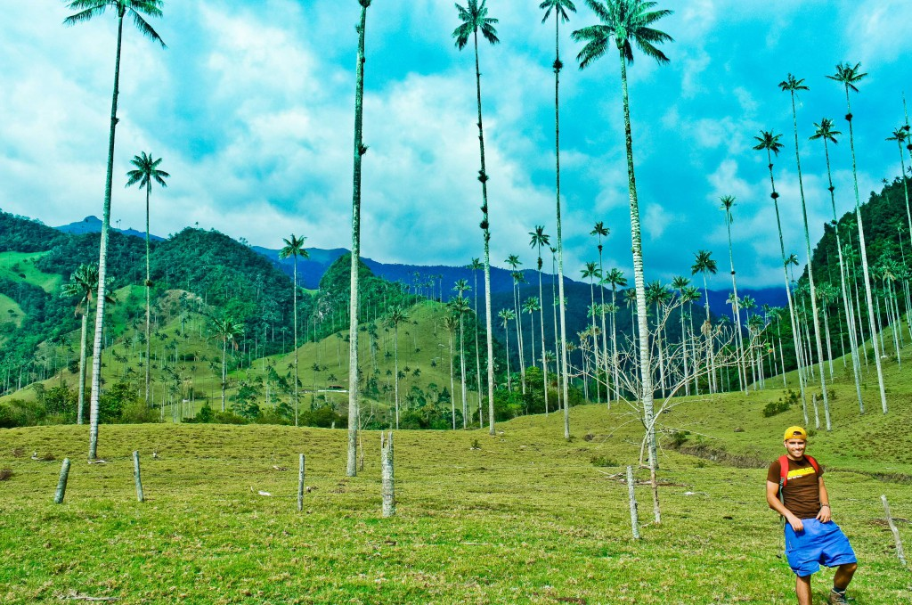 The tallest palm trees in the world