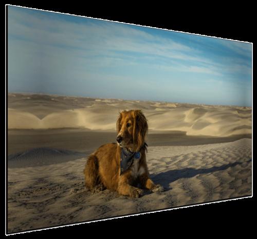 Desert Dog - Canvas Print